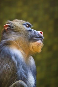 Mandrill by michael1764
