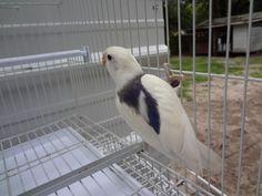 Love Birds Pet, Love Pet, African Lovebirds, Budgies, Parrots, Belleza Natural, Nature Wallpaper, Beautiful Birds, Pets