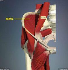 腸骨筋 骨盤の裏から伸びる腸骨筋
