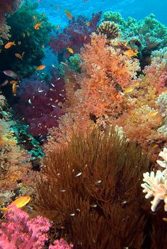 ✯ Soft Corals Jackson Reef Sharm El Sheikh Egypt Red Sea :: Javier Sandoval © License All rights reserved by Sea Zoom ✯