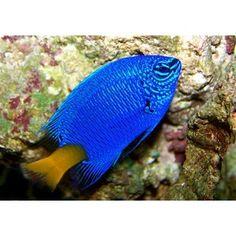Yellowtail Blue Damsel  pretty, cheap & low maintenance