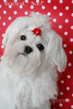 Maltese Dog   ...........click here to find out more     http://googydog.com