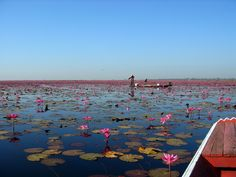 Beautiful lotus flower lake near Gecko Villa - a secluded eco lodge in Thailand (www.goodtrippers.co.uk)