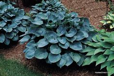 Blue Hostas Give Your Garden True Blue Colors With Blue Hosta Shade Perennials Hosta Plants, Shade Perennials, Buy Plants, Shade Plants, Garden Plants, Hostas For Shade, Garden Art, Potted Lavender, Lavender Flowers
