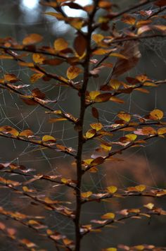 pentydeval: (vía Berså: Suave och gran altura ...) #autumn #colors