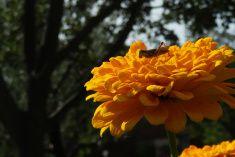 Grasshopper closeup on a big yellow zinnia flower stock photo