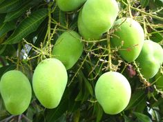 The #mango is a fleshy stone fruit belonging to the genus Mangifera, consisting of numerous tropical fruiting trees, that are cultivated mostly for edible fruits. Description from pinterest.com. I searched for this on bing.com/images