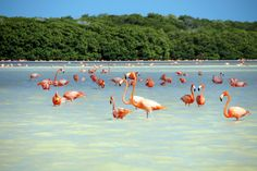 Flamingos in Celestún, Yucatan