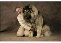 about russian dog on Pinterest | Caucasian Mountain Dogs, Guard Dog ...