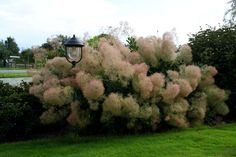 Cotinus Young Lady, likes to give blooms