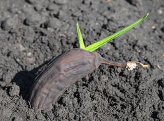 Comment faire pousser un bananier en pot - How To Grow Banana Trees In Pots. Growing banana trees in pots in a tropical climate is extremely easy, with little to no care banana tree grows in the.Growing banana trees in pots. Pots Banana is a lush gre Fruit Garden, Edible Garden, Vegetable Garden, Garden Pots, Garden Trees, Tropical Garden, Growing Tomatoes, Growing Vegetables, Gardening Vegetables