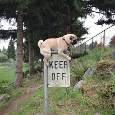 Little pug says: You're not the boss of me