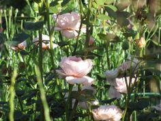 Austin rose Queen of Sweden