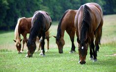 horses in water | Horses Eating Grass desktop wallpaper