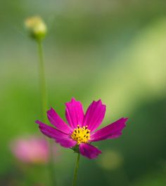 flower of cosmos