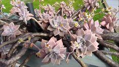 Cacti Succulent Love: Graptoveria  Plant Care https://youtu.be/bFShaf_ZMqg