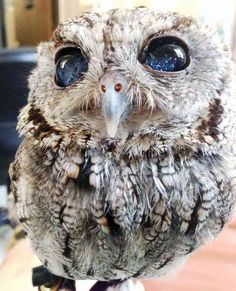 As if owls weren't cute enough with their big eyes, here comes along Zeus, the owl with eyes that look lit up like the night sky – literally. Zeus is a blind Western screech owl that w… Animals And Pets, Baby Animals, Funny Animals, Cute Animals, Baby Owls, Wild Animals, Beautiful Birds, Animals Beautiful, Beautiful Eyes