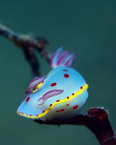 Just when I thought I have seen all the nudi colors! Hypselodoris bennetti