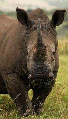 Rhino.. South Africa (by heatherae)