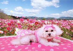 Pretty Mia bichon in pink