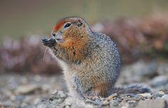 Image result for Arctic ground squirrel. ( Spermophilus parryii) Ground Squirrel, Chipmunks, Arctic, Owl, Bird, Squirrels, Animals, Image, Animales