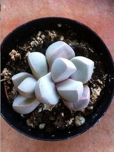 2 Succulent Plants- Green Split Rock -lapidaria margaretae
