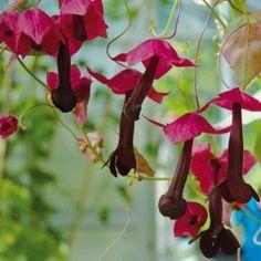 TÖRNROSAS KJORTEL i gruppen Ettåriga blomsterväxter / Ampelväxter hos Impecta Fröhandel (419)