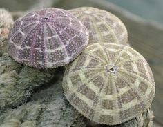 Alfonso sea urchin