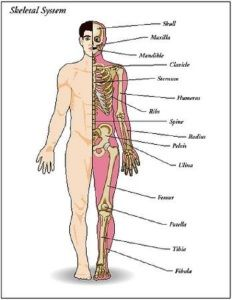 list of bones in the human body | human body | pinterest | human body, Cephalic Vein