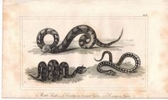 Rattle Snake Horned & Common Viper Reptile 1821 Antique Engraved Print