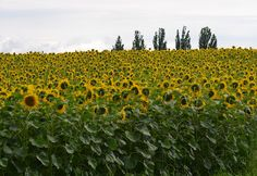 Sunflowers in field from our recent trip to Switzerland.
