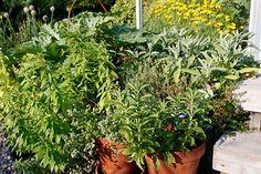 Yrttien kasvatus on helppoa! Katso pikaohjeet täältä http://www.kotipuutarha.fi/puutarhavinkit/kasvata-herkkuja/yrttien-kasvatus.html