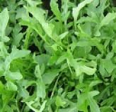 A more robust darker green leaf gives Adventurer a longer shelf life. This variety has a great flavour and texture, and good bolting tolerance. Plant breeder's rights applied for. Long Shelf, Herb Seeds, Shelf Life, Adventurer, Green Leaves, Perennials, Herbs, Plants, Fresh