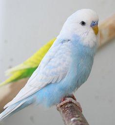 Fancy Parakeet, Budgie Parakeet, Budgies, Baby Animals Super Cute, Cute Little Animals, Funny Parrots, Toucan, Cute Reptiles, Panda Art