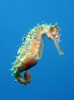 If I could have a seahorse as a pet I would. Underwater Creatures, Ocean Creatures, Weird Creatures, Dragon Fish, Sea Dragon, Animals And Pets, Cute Animals, Especie Animal, Ocean Life