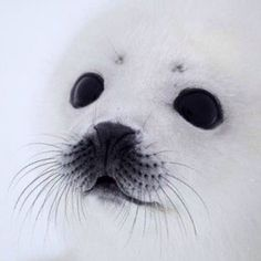 animals from around the world Awesome and beautiful! Baby seal by Alexander ZemlianichenkoAwesome and beautiful! Baby seal by Alexander Zemlianichenko Baby Harp Seal, Baby Seal, Harp Seal Pup, Cute Creatures, Beautiful Creatures, Animals Beautiful, Beautiful Eyes, Cute Baby Animals, Animals And Pets