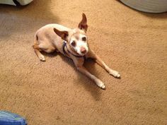 Missing Dog (mini pinscher & chihuahua mix) (Chatsworth)   My dog (Rocky) still missing since December 20th, 2014. We miss him so much. If you have seen him or have him please contact me @ (626)390-2810. He is 11 years old and I am sure he misses us too.