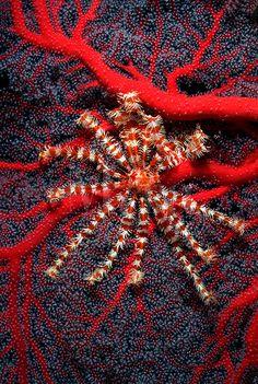 "This crinoid (also known as a feather star) Liparometra regalis, Micronesia. The white ""fuzzy"" look to the coral are the coral polyps feeding."