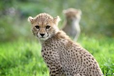Cheetah Cub Totally on the Serious Side. (Photographed by Gary Brookshaw).