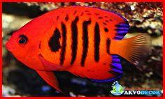 Mengenal Ikan Coral Beauty – Siapa pernah mendengar, melihat dan mengenal ikan coral beauty? Tentu jarang terdengar popularitasnya. Ikan jenis ini memang tidak terlalu terkenal di kalangan umum namun cukup terkenal di kalangan pecinta ikan hias yang telah lama mengoleksi ikan – ikan hias keren dunia  Selengkapnya: http://akvodecor.com/mengenal-ikan-coral-beauty-secara-mendalam/
