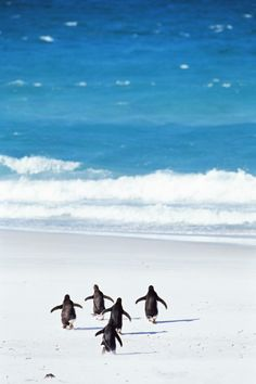 """Penguins making a run for the water. """"So, can you remember yelling as you ran to the water, 'Last one in's a rotten egg! All Gods Creatures, Sea Creatures, Beautiful Birds, Animals Beautiful, Funny Animals, Cute Animals, Penguin Love, Penguin Dance, Penguin Walk"""