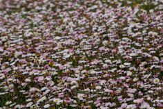 Daisies on the tattie strip at Tigharry Outer Hebrides, Daisies, Seasons, Flowers, Plants, Pictures, Photos, Margaritas, Bellis Perennis