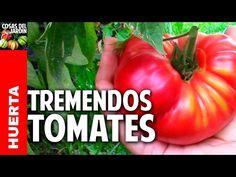 Los mejores trucos para cultivo de tomate en casa En este artículo te voy a contar unos trucos sobre tomates que te van a sorprender. Vamos a hablar de riego, de hongos, de poda, de los tomates azules… de qué no vamos a hablar. No te pierdas las preguntas y respuestas del final del video …