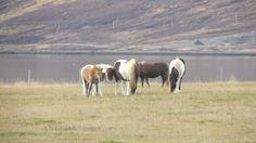 Caballos de camino a los #fiordos en #Islandia #Iceland #otoñoenislandia