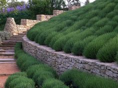 Provence Garden by Anthony Paul Landscape Design | the lavender looks great even when it's not in bloom.