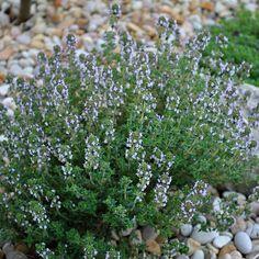 Thymus vulgaris - Thym commun - Farigoule
