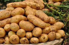 健康一級棒: 好吃的馬鈴薯 您對它了解多少呢?馬鈴薯的功效 把健康分享給大家!