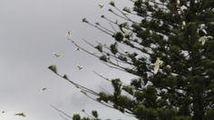 Swarming Cockatoos Almost Kill Amateur Naturalist