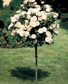Tree Rose - Pink Double Knockout