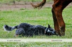 I *love* Australian Cattle Dogs. Picture from Jeff Jaquish at zingpix.com.